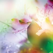 Fototapeta Barvne rože